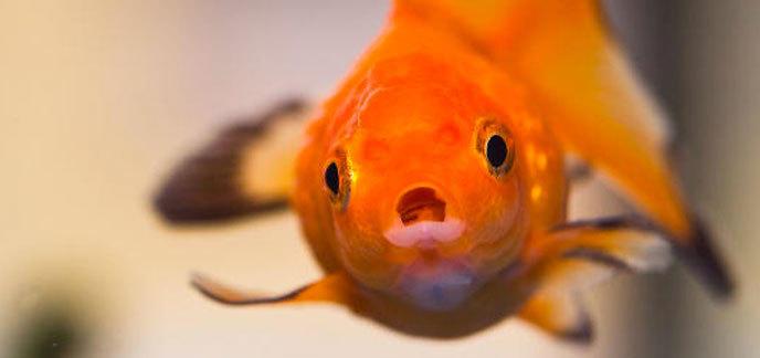 Le consommateur d'aujourd'hui aurait la capacité d'attention d'un poisson rouge